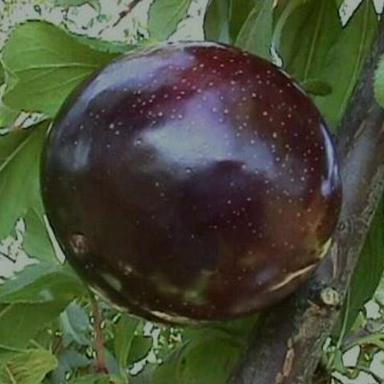 http://bradfordfarms.com.au/wp-content/uploads/2017/06/Black-Yummy-2-1.jpg